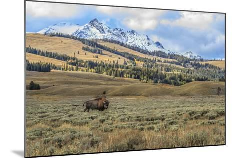 Bison by Electric Peak (YNP)-Galloimages Online-Mounted Photographic Print
