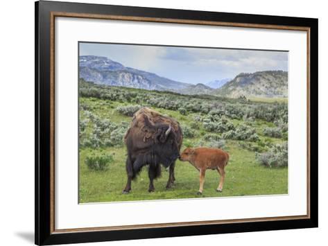Bison and Calf (YNP)-Galloimages Online-Framed Art Print