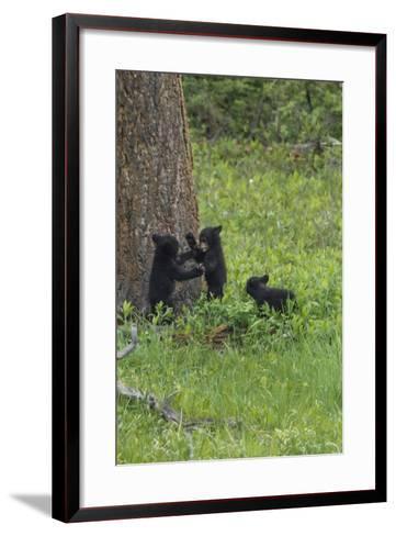 Black Bear Cubs-Galloimages Online-Framed Art Print