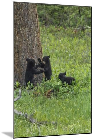 Black Bear Cubs-Galloimages Online-Mounted Photographic Print