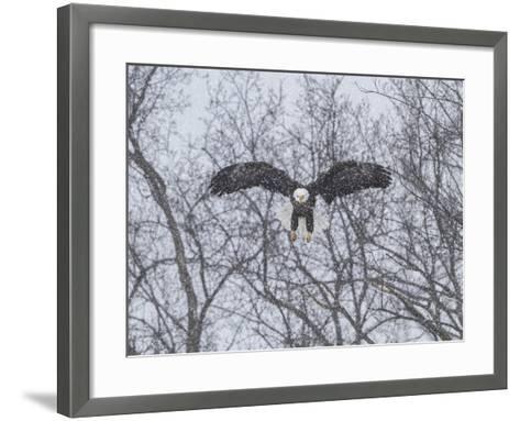Snowy Eagle-Galloimages Online-Framed Art Print