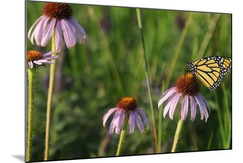 Monarch 5-Gordon Semmens-Mounted Photographic Print