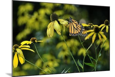Monarch 2-Gordon Semmens-Mounted Photographic Print