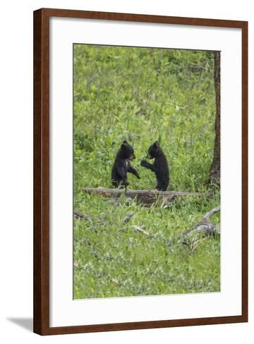 Black Bear Cubs (YNP)-Galloimages Online-Framed Art Print