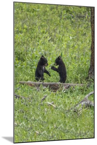 Black Bear Cubs (YNP)-Galloimages Online-Mounted Photographic Print