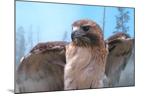 Skies of Yellowstone - Redtail Hawk-Gordon Semmens-Mounted Photographic Print