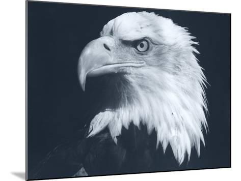 Bald Eagle 3-Gordon Semmens-Mounted Photographic Print