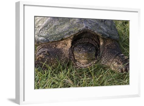 Snapping Turtle-Gordon Semmens-Framed Art Print