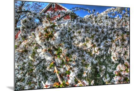 Cherry Blossom Barn-Robert Goldwitz-Mounted Photographic Print