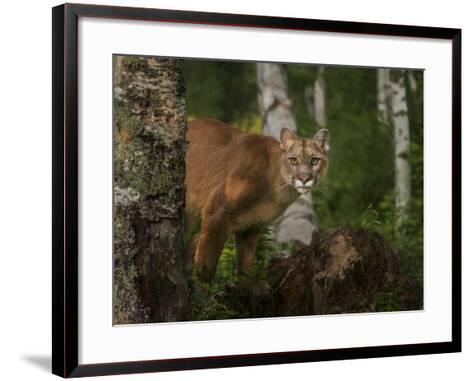 Inquistive Mountain Lion-Galloimages Online-Framed Art Print