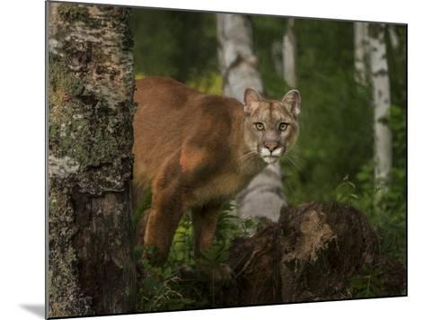 Inquistive Mountain Lion-Galloimages Online-Mounted Photographic Print