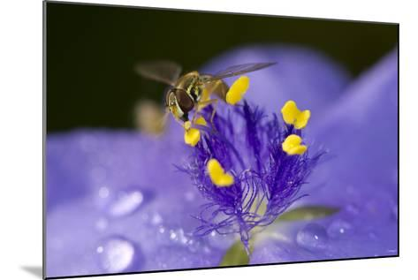 Flower and Bee-Gordon Semmens-Mounted Photographic Print