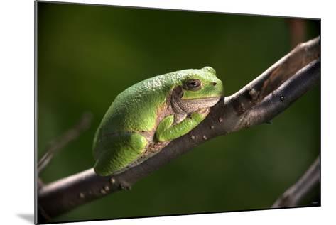 Frog-Gordon Semmens-Mounted Photographic Print