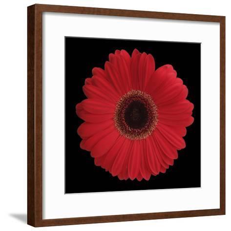 Red Gerbera Daisy-Jim Christensen-Framed Art Print