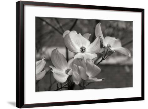 Dogwood Blossoms I BW-Erin Berzel-Framed Art Print