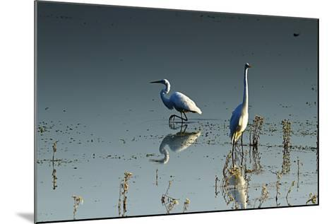 Early Morning Egrets 2-Alan Hausenflock-Mounted Photographic Print