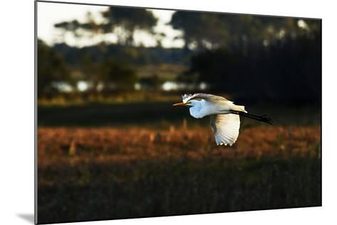 Egret in Flight 2-Alan Hausenflock-Mounted Photographic Print