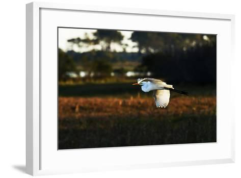 Egret in Flight 2-Alan Hausenflock-Framed Art Print