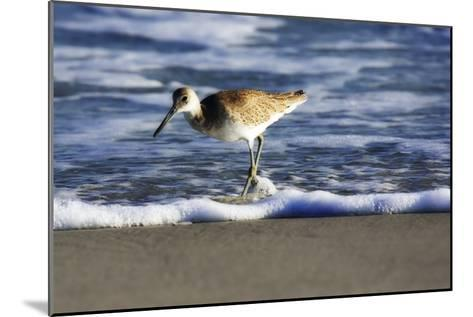 Sandpiper in the Surf III-Alan Hausenflock-Mounted Photographic Print
