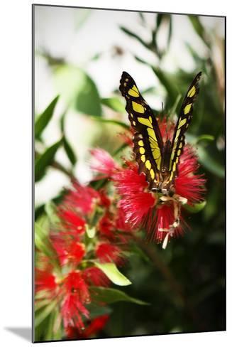 Baird's Swallowtail I-Alan Hausenflock-Mounted Photographic Print