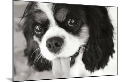 King Charles Spaniel Black and White-Karyn Millet-Mounted Photographic Print