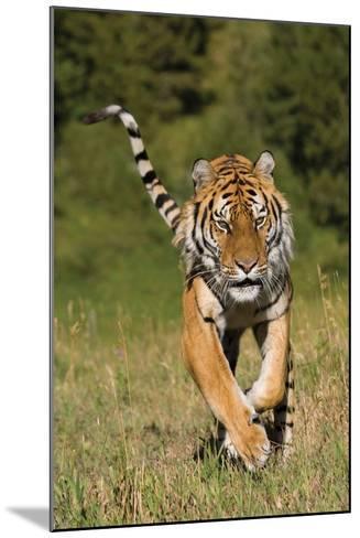 Tiger Run-Susann Parker-Mounted Photographic Print