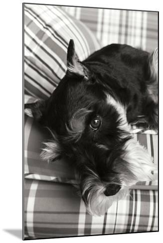 Schnauzer Black and White-Karyn Millet-Mounted Photographic Print