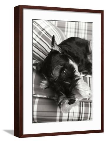 Schnauzer Black and White-Karyn Millet-Framed Art Print