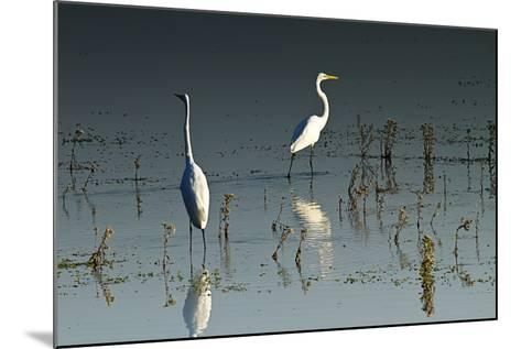 Early Morning Egrets 1-Alan Hausenflock-Mounted Photographic Print