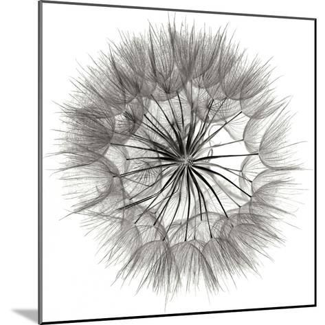 Goat's Beard 4-Jim Christensen-Mounted Photographic Print