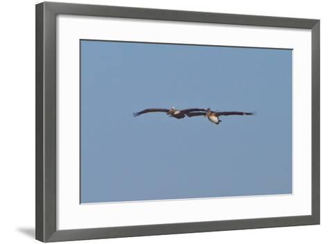 Pelicans in Flight I-Lee Peterson-Framed Art Print