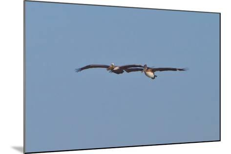 Pelicans in Flight I-Lee Peterson-Mounted Photographic Print