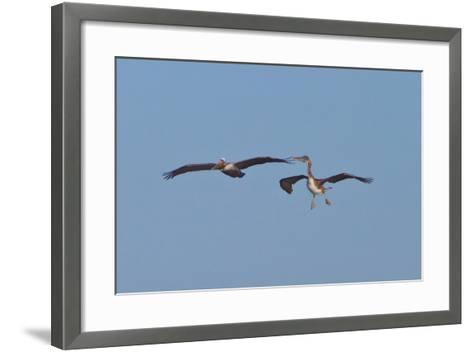 Pelicans in Flight II-Lee Peterson-Framed Art Print