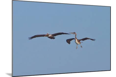Pelicans in Flight II-Lee Peterson-Mounted Photographic Print