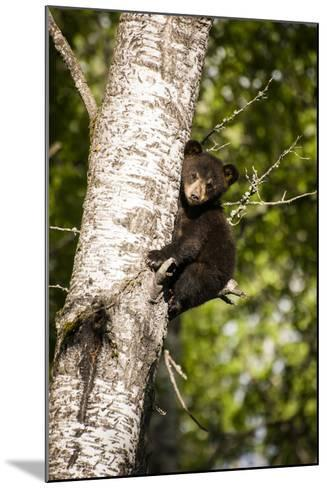 Bear Cub in Tree IV-Beth Wold-Mounted Photographic Print