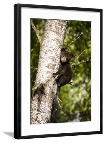 Bear Cub in Tree IV-Beth Wold-Framed Art Print