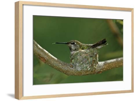 Hummingbird 2-Lee Peterson-Framed Art Print