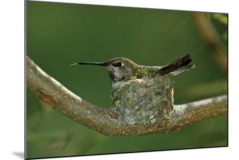 Hummingbird 2-Lee Peterson-Mounted Photographic Print