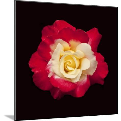 Red and White Rose-Lee Peterson-Mounted Photographic Print