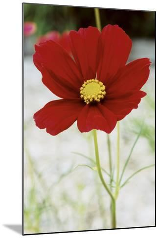 Red Cosmos I-Bob Stefko-Mounted Photographic Print