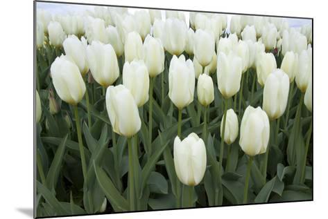White Tulips I-Dana Styber-Mounted Photographic Print