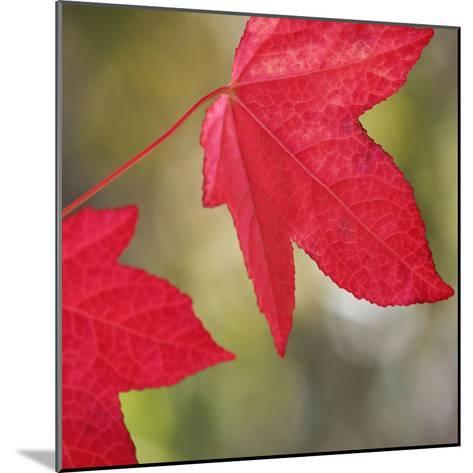 Festive Maple III-Rita Crane-Mounted Photographic Print