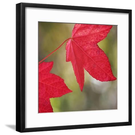 Festive Maple III-Rita Crane-Framed Art Print
