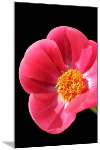 Pink Peony I-Tammy Putman-Mounted Photographic Print