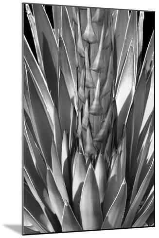 Flowering Agave BW-Douglas Taylor-Mounted Photographic Print