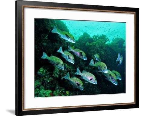 A Shoal of Speckled Sweetlips (Plectorhinchus Fishes)-Andrea Ferrari-Framed Art Print