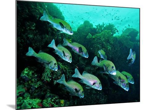 A Shoal of Speckled Sweetlips (Plectorhinchus Fishes)-Andrea Ferrari-Mounted Photographic Print