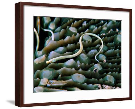 Needle Fish of the Corals (Syokunichthys Nigrolineatus)-Andrea Ferrari-Framed Art Print