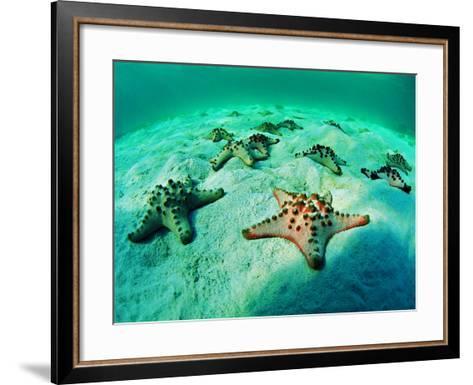Sea Stars (Protoreaster Nodosus)-Andrea Ferrari-Framed Art Print