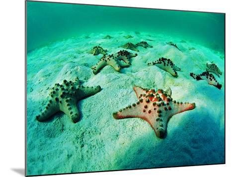 Sea Stars (Protoreaster Nodosus)-Andrea Ferrari-Mounted Photographic Print